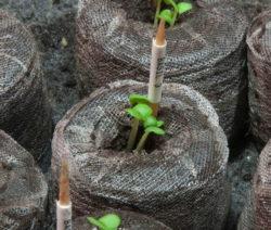 Basilikum Im Quelltopf Anbauen