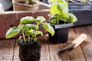 Basilikum Pflegen Jungpflanze Mit Schaufel
