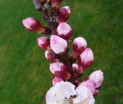 Blüte Cot N Candy Aprium Knospen