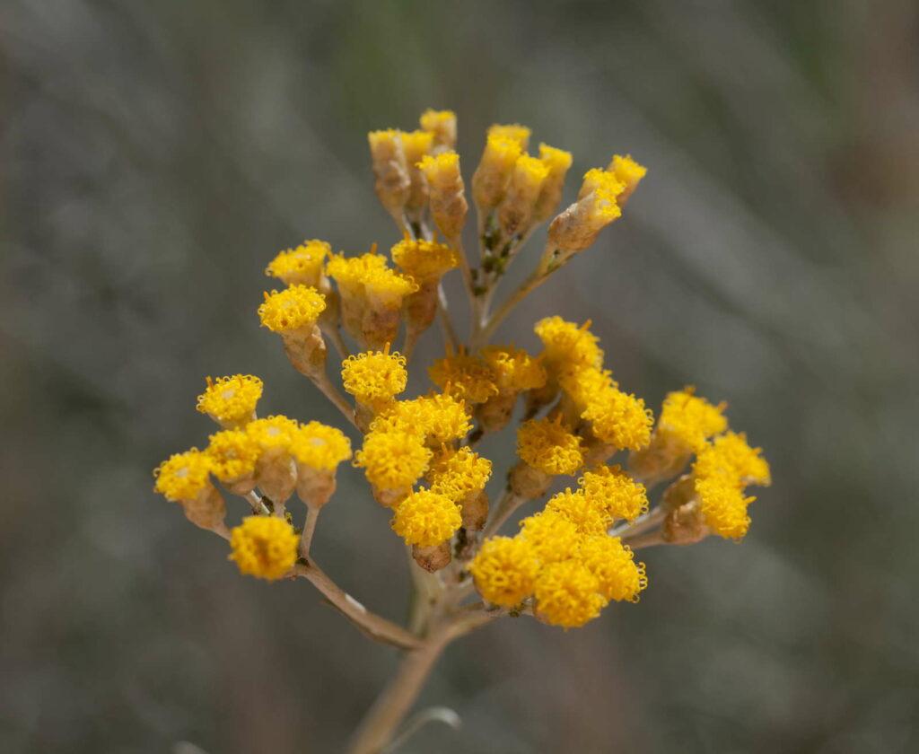 gelbe Blüte Currykraut im Garten