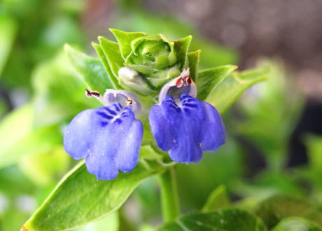 Blüte Pilzkraut Rungia Klossii Im Garten Anbauen