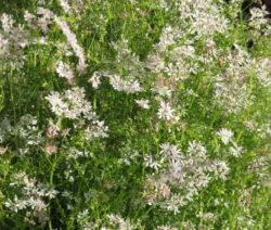Blumenwiese Koriander