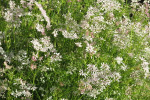 Blumenwiese Koriander Im Garten Anbauen