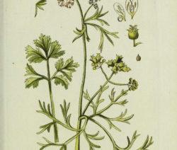 Botanik Koriander