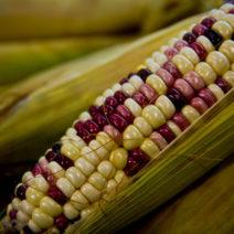 Bunter Mais Mit Verschieden Farbigen Körnern