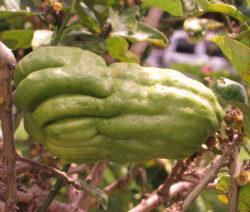 Citrus Medica Var. Sarcodactylis Frucht