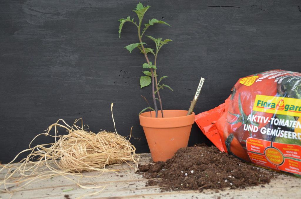 Holzstecken-Kartoffel mit Erde