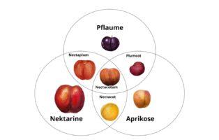 Pluot, Aprium Und Peacotum: Interspezifische Hybride