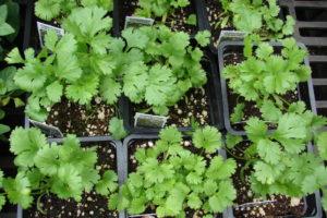 Jungpflanzen Zum Auspflanzen Im Garten Koriander