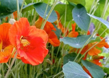 Kapuzinerkresse Im Garten Mit Roten Orangen Blüten
