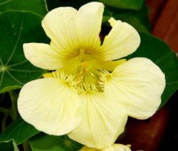 Kapuzinerkresse Blüte Gelb Banana Split