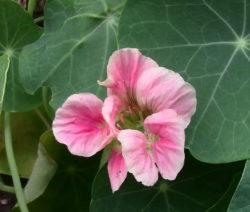 Kapuzinerkresse Blüte Rosa