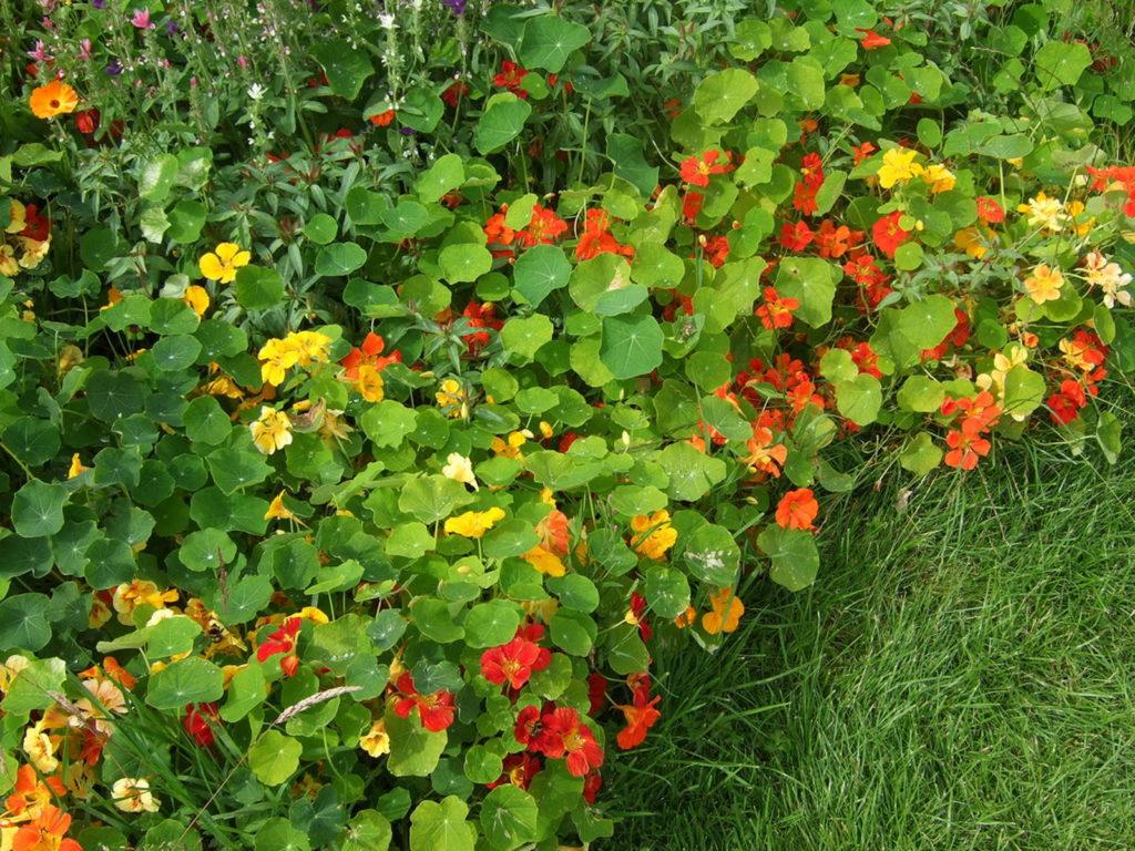 Kapuzinerkresse Saum mit Blüten im Garten