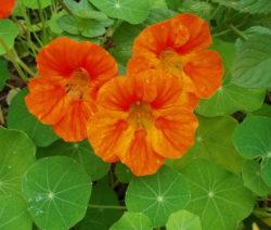 Kapuzinerkresse Blüte Rot Orange