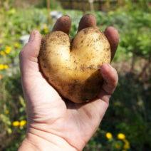 Kartoffel In Herzform Im Garten Anbauen