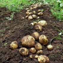 Kartoffeln Im Garten Anbauen Ernten