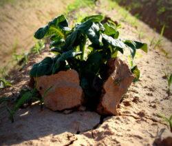 Kartoffeltriebe Durchbrechen Lehmige Erde Im Beet