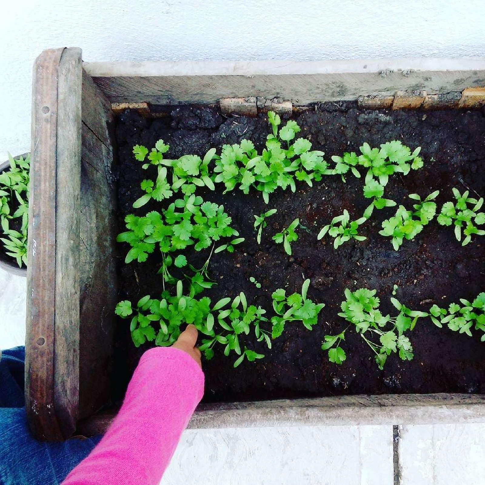 Fabelhaft Koriander anbauen: Von der Aussaat bis zur Ernte - Plantura &VD_44
