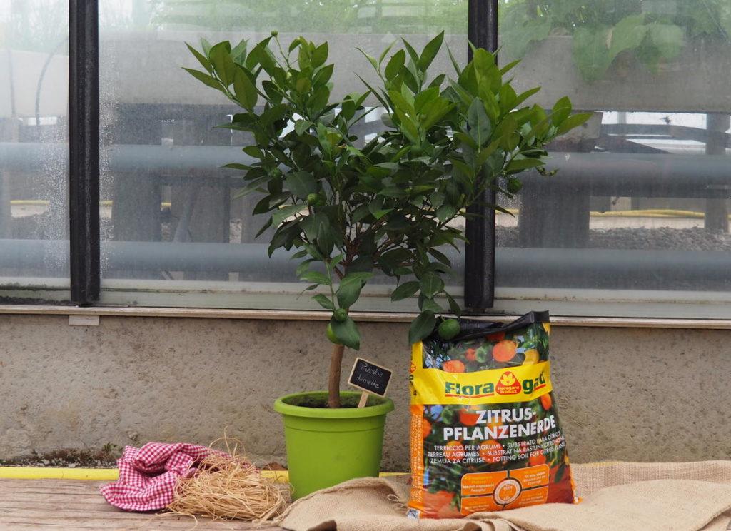 Pursha-Limette mit Floragard-Erde