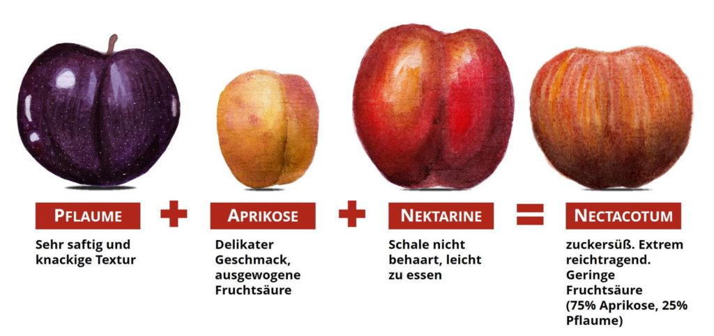 Prunus Steinfrucht Kreuzung Nectacotum Pflaume Aprikose Nektarine