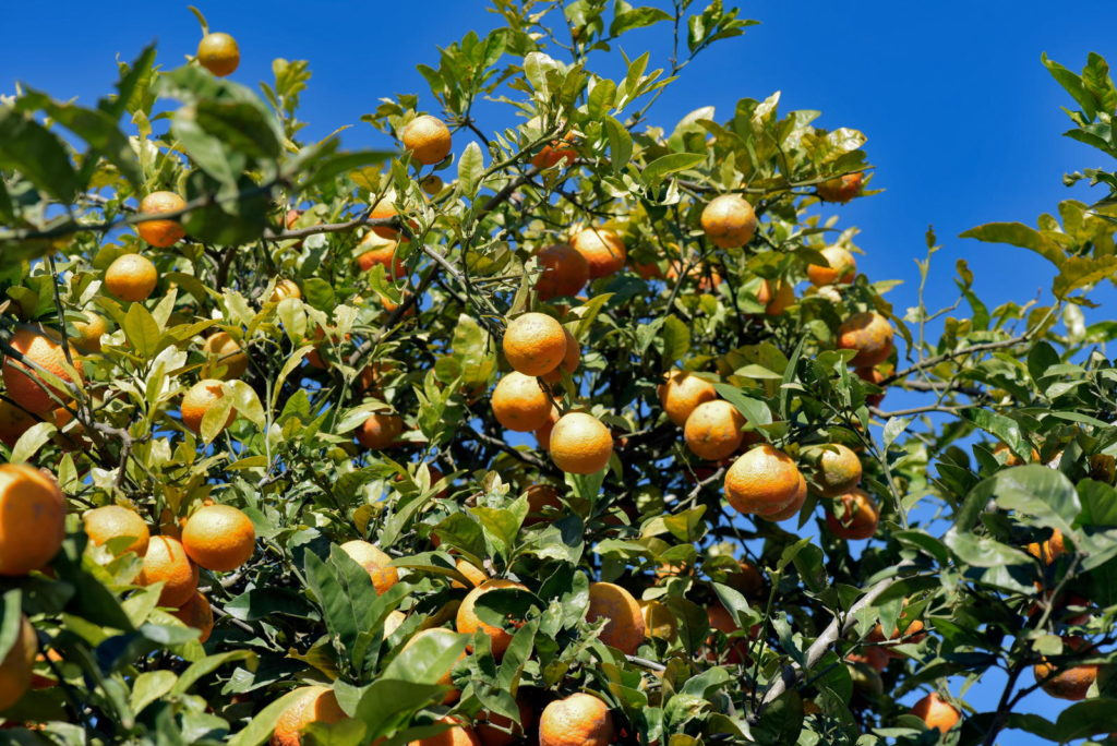 Rangpur-Limetten am Baum