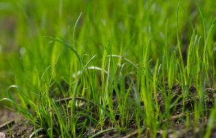 Grashalme Sprießen Aus Boden