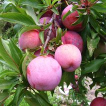 Rosa Pinkte Plumcot Biriccolo Prunus Kreuzung