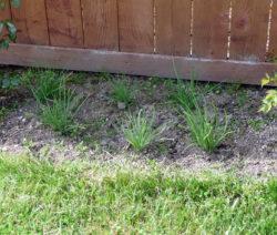 Schalotten Im Beet Im Garten Anbauen