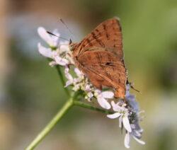 Schmetterling Auf Korianderblüte Im Garten
