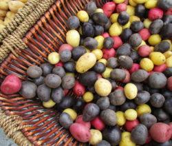 Sortenvielfalt Altbewährte Kartoffeln