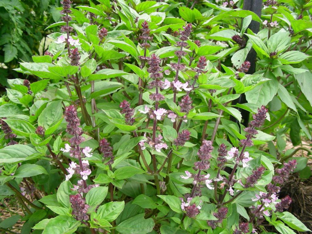 Thaibasilikum in voller Blüte im Garten