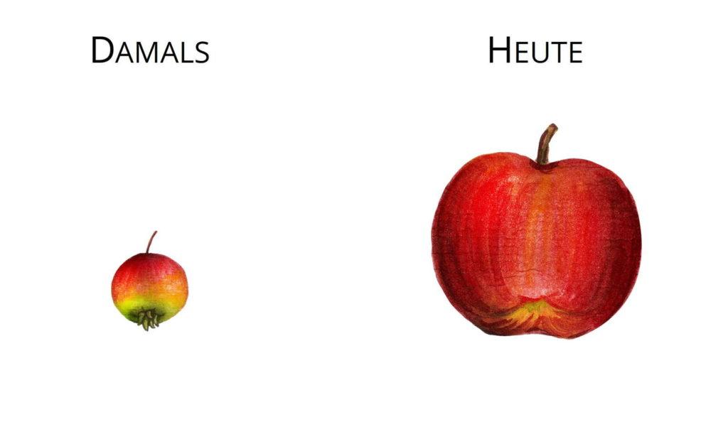 Wildformen Züchtung Urapfel Wilder Apfel Malus sieversii