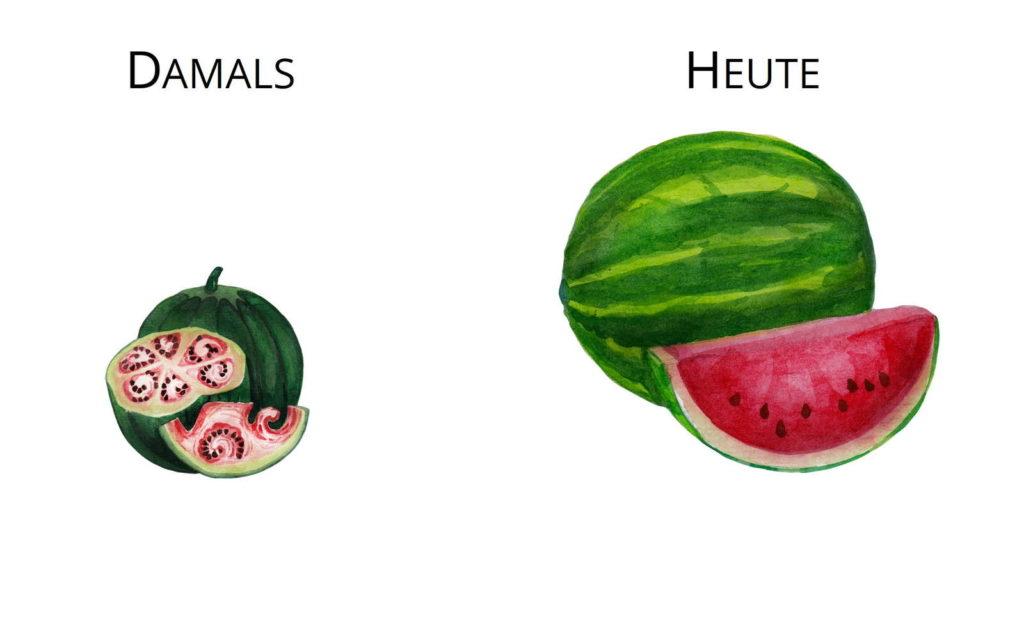 Wildformen Züchtung Urwassermelone Wilde Wassermelone Tasmma Melone