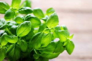 Basilikum-Pflanze Mit Nassen Blättern
