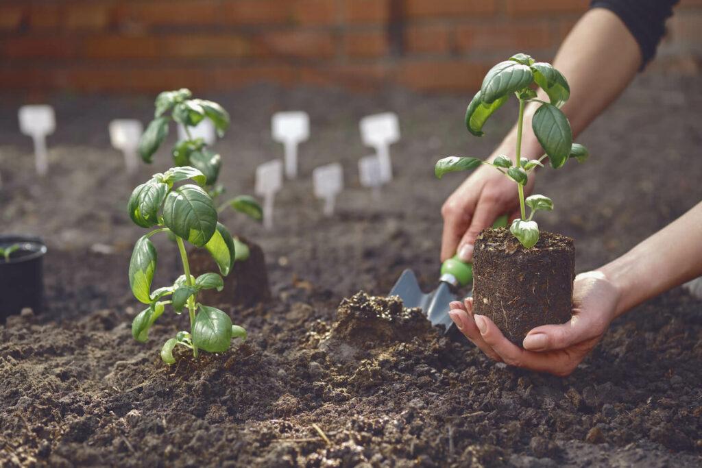 Einpflanzen von Basilikum