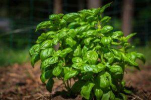Basilikum-Pflanze Im Beet