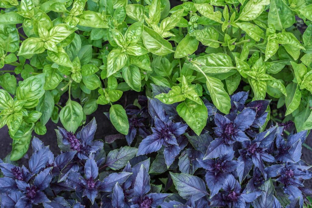 Rotes und grünes Basilikum