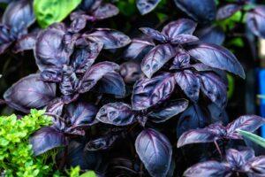 Basilikumpflanze Mit Roten Blättern