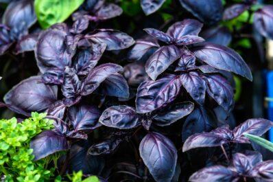 Schwarzes Basilikum: Das berühmte Küchenkraut mit dunklem Laub