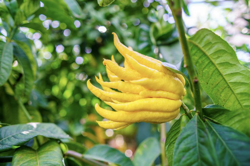 reife Buddhas-Hand-Zitrone