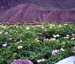 Bunte Kartoffelblüte In Peru