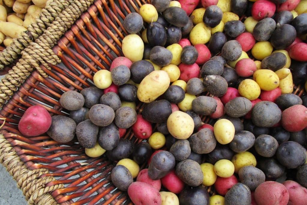 Bunte Kartoffelsorten in Rot, Schwarz und Gelb