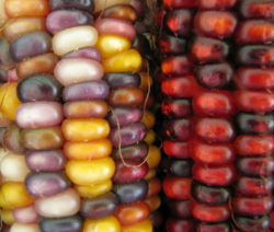Bunter Mais Indian Corn Nahaufnahme