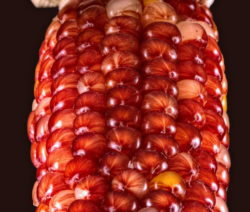 Bunter Roter Mais Autumn Corn
