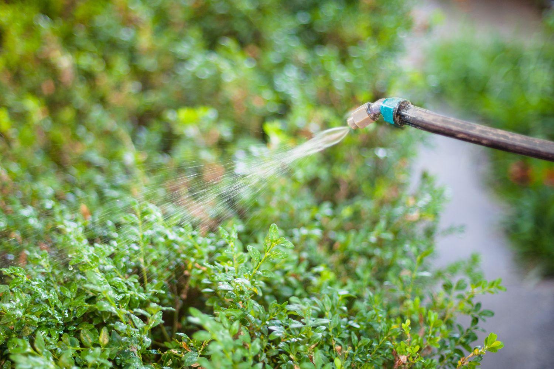 Chemisches Spritzmittel wird gegen den Buchsbaumzünsler verwendet