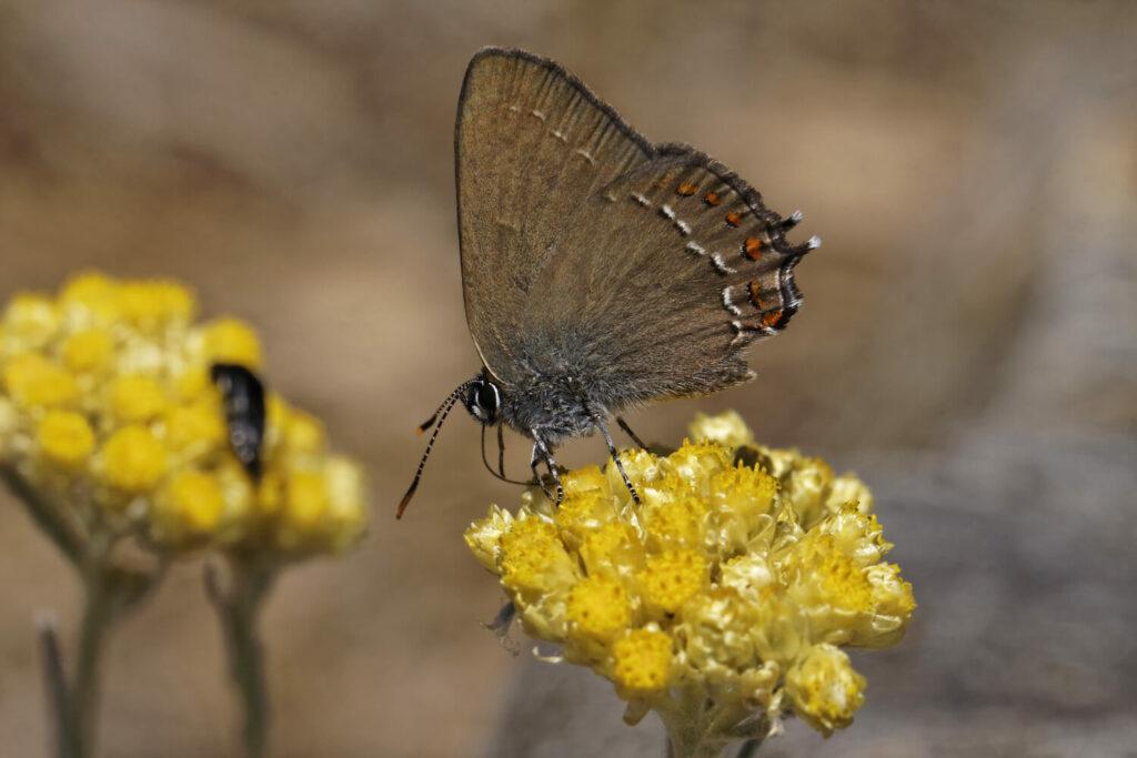 Schmetterling auf Currykraut