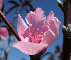 Dekorative Rosa Blüte Von Nectaplum