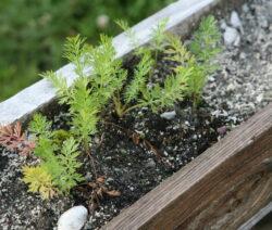 Etwas Verkümmerte Kümmeljungpflanzen Balkonkasten