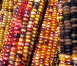 Farbige Maiskörner Indian Corn
