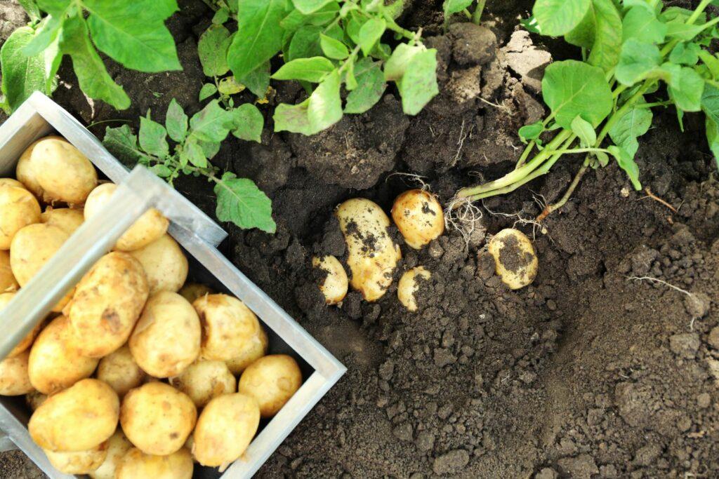 Frisch geerntete Frühkartoffeln
